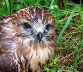 Falcon nestling — Stock Photo