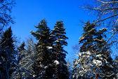Frozen treen in winter forest — Stock Photo