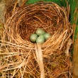 Bird nest eggs — Stock Photo