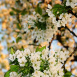 White blossom flowers — Stock Photo