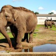 Elephants in captivity — Stock Photo