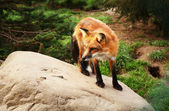 Red fox — Stock Photo