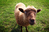 Sheep evil eye — Stock Photo