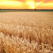 Wheat field crop countryside — Stock Photo