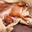 Stock Photo: Dog sofsleep
