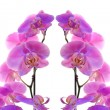 Stock Photo: Orchid flower blossom