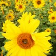 Sunflower field — Stock Photo #4501485
