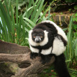 Royalty-Free Stock Photo: Lemur monkey black and white