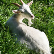 Goat white grass — Stock Photo