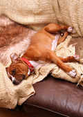 Dog sofa sleep — Stock Photo