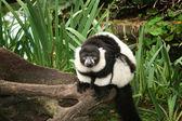 Lemur monkey black and white — Stock Photo