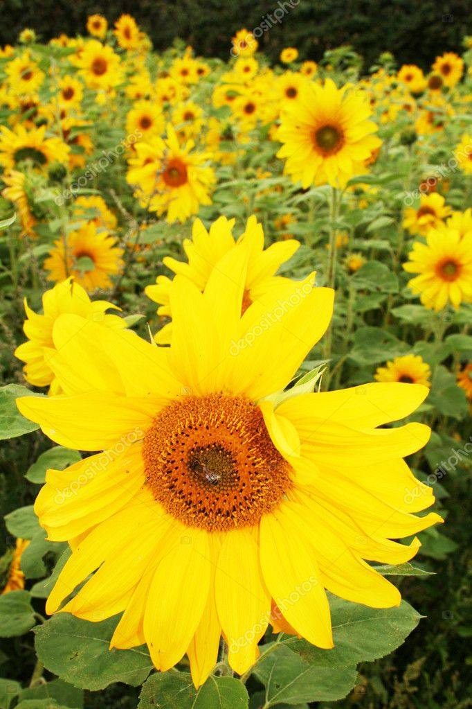 Sunflower field with yellow flowers one with bee in middle. farming of oil and seeds  Stock Photo #4501485