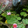 Garden pond water lily — Stock Photo