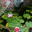 Stock Photo: Garden pond water lily