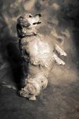 Dog golden retriever — Foto de Stock