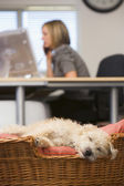 Dog sleeping in home office with woman in background — Stock Photo