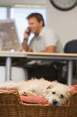 バック グラウンドで男とホーム オフィスで横たわっている犬 — ストック写真