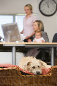 Dog lying in home office with two women and a baby in background — Stock Photo