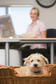 Dog lying in home office with woman in background — Stock Photo
