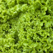 Batavia Lettuce — Stock Photo