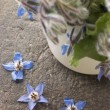 Stock Photo: Borage, Herb