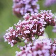 Close-Up Of Viburnum Plant - ストック写真