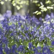 Foto Stock: Bluebells Growing In Woodland