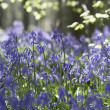 Stockfoto: Bluebells Growing In Woodland