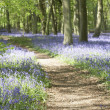 Bluebells Growing In Woodland — Stock Photo #4789581