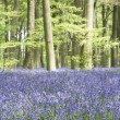 Bluebells Growing In Woodland - Stock Photo