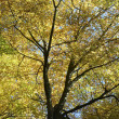 Tree Canopy In Autumn - Foto de Stock