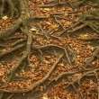 Tree Roots Protruding Through Autumn Leaves — Stock Photo