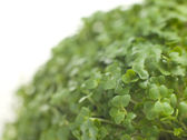 Cress Growing — 图库照片