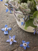 Borage, Herb — Stock Photo