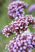 Close-Up Of Viburnum Plant — Photo
