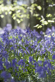 Bluebells Growing In Woodland — Stock Photo