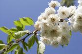Fleur du pommier sur une branche d'arbre — Photo