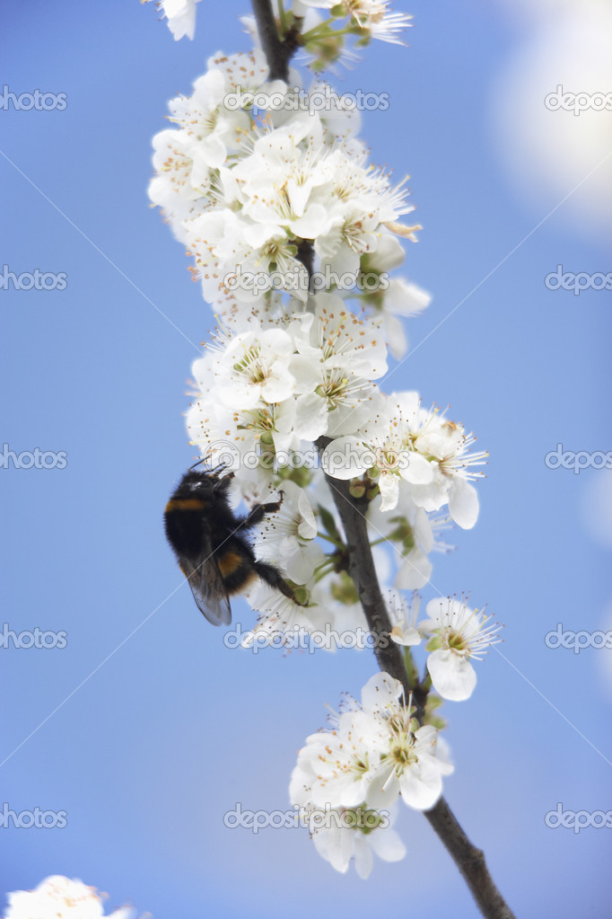 Bumblebee Collecting Pollen From Apple Blossom — Stock Photo #4789762