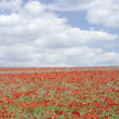 Poppies Stretching Across A Field - Stock Photo