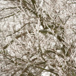 Snow And Ice Gathering On Tree Branches — Stock Photo #4794539