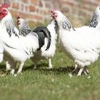 Poultry In Farmyard - Stock Photo