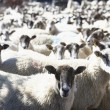 Flock Of Sheep — Stock Photo #4795929