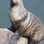 Beautiful fan pose of a gray seal — Stock Photo #4797045
