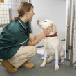 Vetinary Nurse Checking Sick Animals In Pens — Foto de Stock