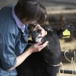 Vet Examining Calf — Stock Photo