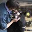 Vet Examining Calf - Foto Stock