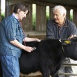 Farmer With Vet Examining Calf — Photo