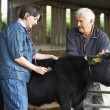 Foto Stock: Farmer With Vet Examining Calf