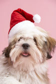 Lhasa Apso Dog Wearing Santa Hat — Stock Photo
