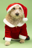Small Dog In Santa Costume — Stock Photo